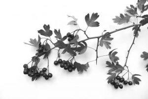 Hawthorne sprig with berries